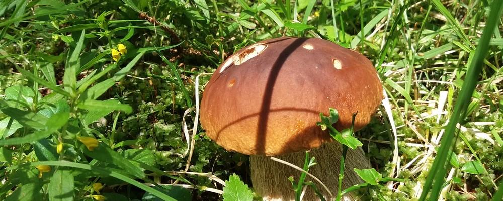 Ma, quest´anno i funghi comestibili ci stanno?